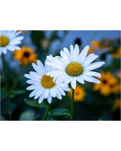TfT - Greeting Card Daisy