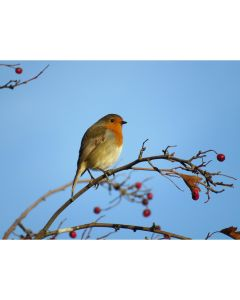 TfT - Greeting Card Robin