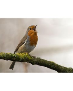 TfT - Greeting Card Robin Singing