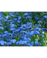 TfT - Greeting Card Forget me not